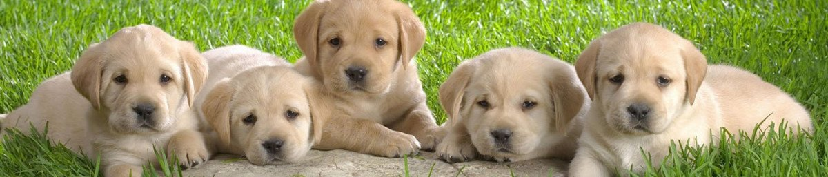 Puppies For Sale, Dogs, Puppies, Kittens & Cats for sale - Petland Dallas Texas Pet Store