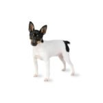 Petland Dallas, TX Toy Fox Terrier