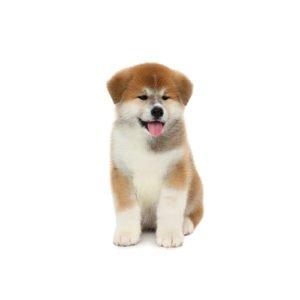 Akita Puppies - Visit Petland in Dallas, Texas