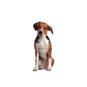 Beagle Puppies - Visit Petland in Dallas, Texas