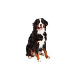 bernese mountain dog puppies texas