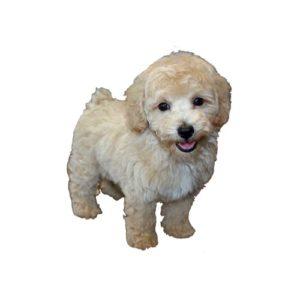 Bichon Poo Puppies - Visit Petland in Dallas, Texas