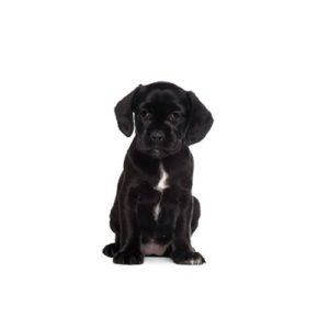Boggle Puppies - Visit Petland in Dallas, Texas