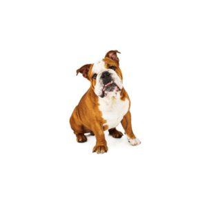 English Bulldog Puppies Visit Petland In Dallas Texas