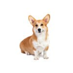 Petland Dallas, TX Pembroke Welsh Corgi