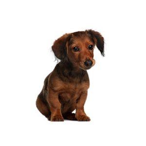 Dachshund Puppies - Visit Petland in Dallas, Texas