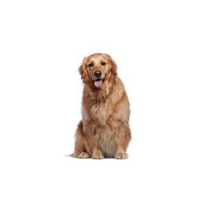 Golden retriever puppies for sale in dallas