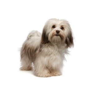 Havanese Puppies Visit Petland In Dallas Texas