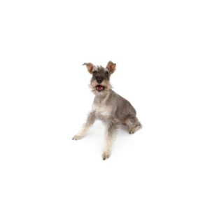 Miniature Schnauzer Puppies Visit Petland In Dallas Texas