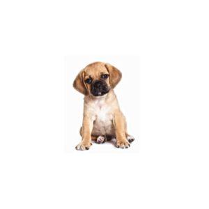 Puggle Puppies - Visit Petland in Dallas, Texas