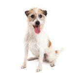 Petland Dallas, TX Jack Russel Terrier