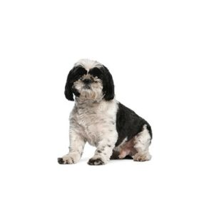 Shih Tzu Puppies In Dallas Visit Petland In Dallas Texas