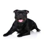 Petland Dallas, TX Staffordshire Bull Terrier