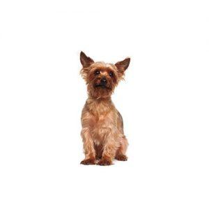 Australian Terrier Puppies Petland Dallas Tx