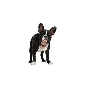 Boston Terrier Puppies Petland Dallas Tx