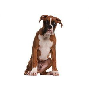 Boxer Puppies Petland Dallas Tx