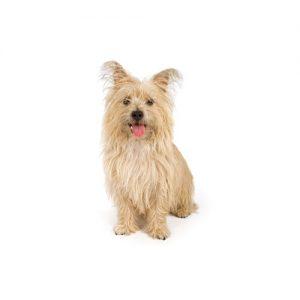 Cairn Terrier Puppies Petland Dallas Tx