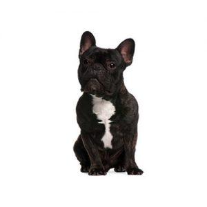 French Bulldog Puppies Petland Dallas Tx