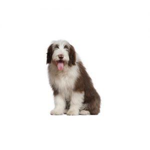 Old English Sheepdog Puppies Petland Dallas Tx