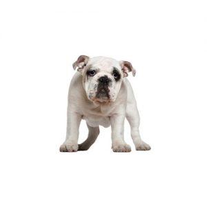 Olde English Bulldogge Puppies Petland Dallas Tx