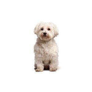 Chipoo Puppies Petland Dallas Tx