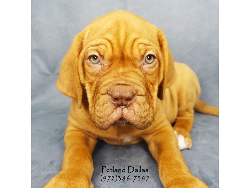 Dogue De Bordeaux Puppies Petland Dallas Tx
