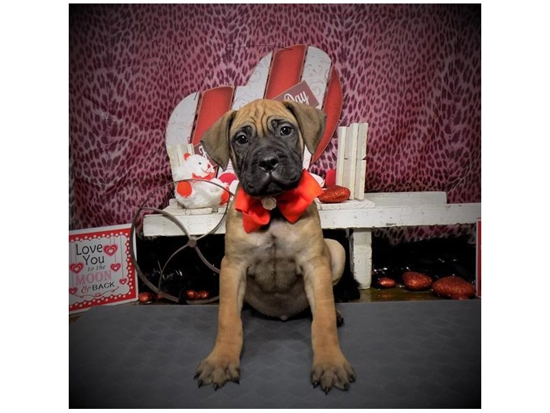 Bullmastiff-Female-Red-2590007-Petland Dallas, TX
