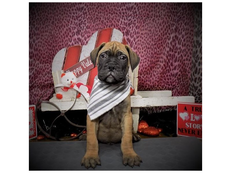 Bullmastiff-Male-Red-2590008-Petland Dallas, TX