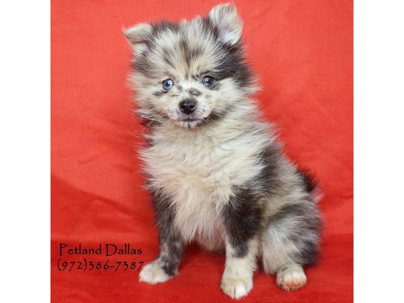 Pomeranian Dog Female Blue Merle 2599997 Petland Dallas Tx