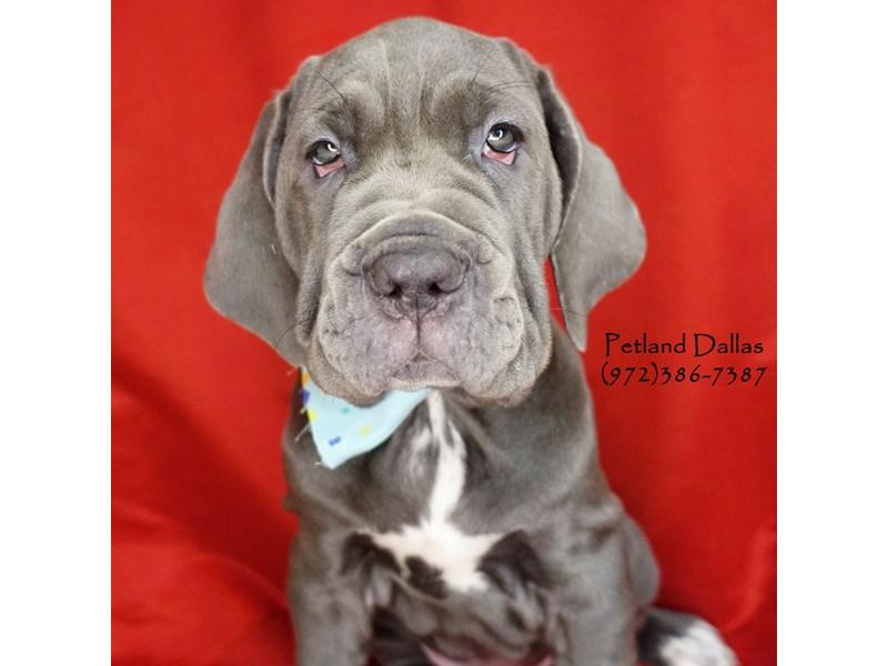 Neapolitan Mastiff-Female-Blue-2626678-Petland Dallas, TX