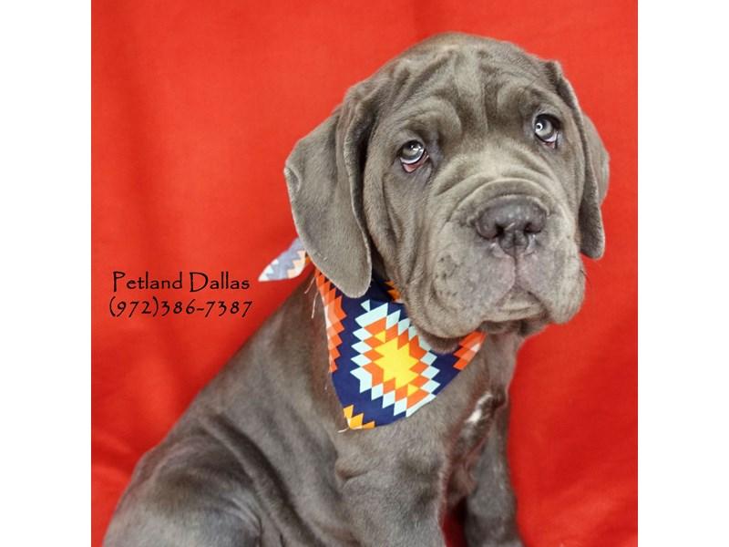 Neapolitan Mastiff-Male-Blue-2626681-Petland Dallas, TX