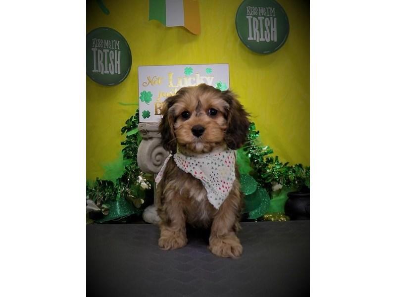 Cavapoo Dog Male Sable 2640774 Petland Dallas Tx