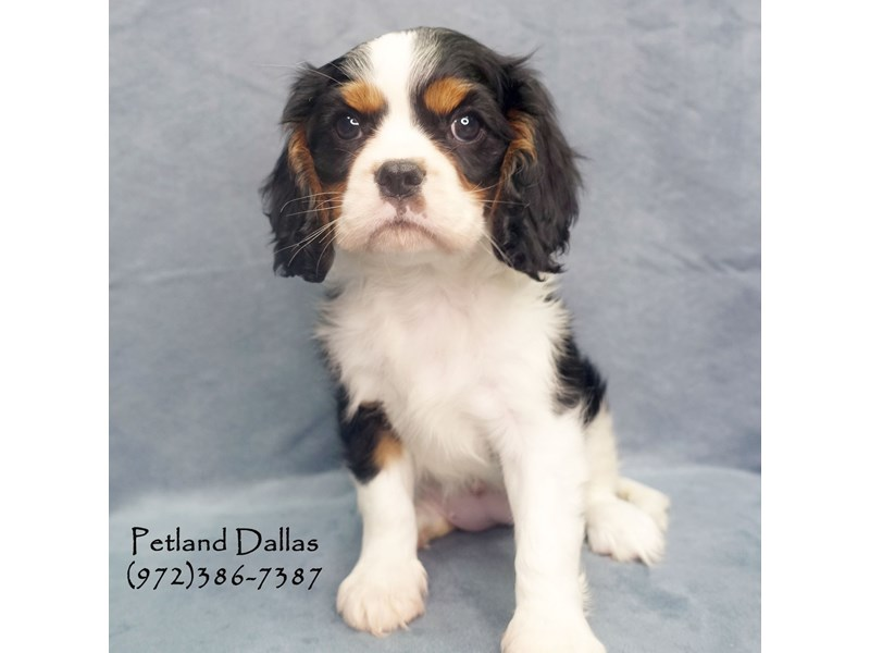 Cavalier King Charles Spaniel Dog Female Black Tri 2644172 Petland Dallas Tx