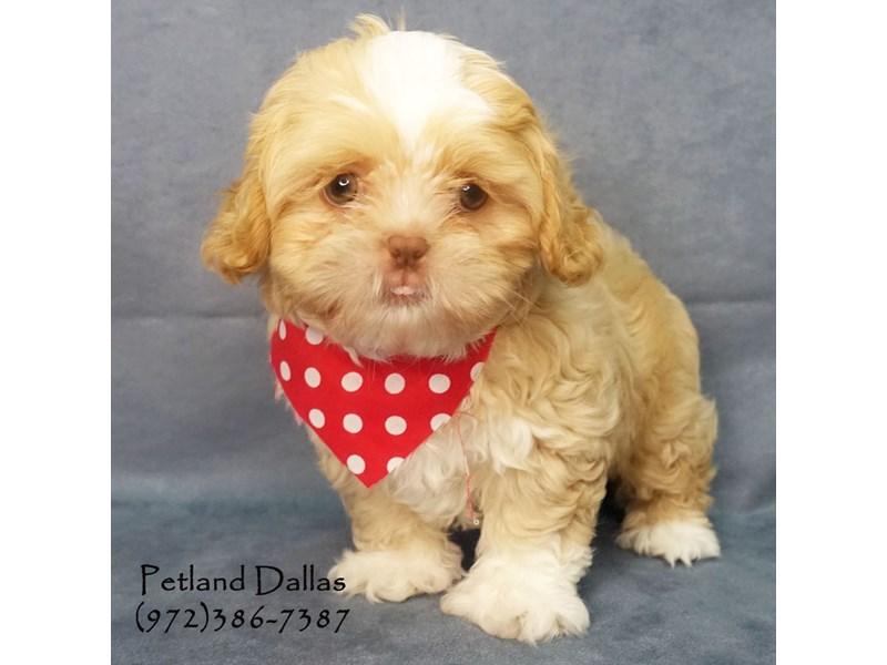 Shih Tzu Dog Male Dark Golden 2649901 Petland Dallas Tx