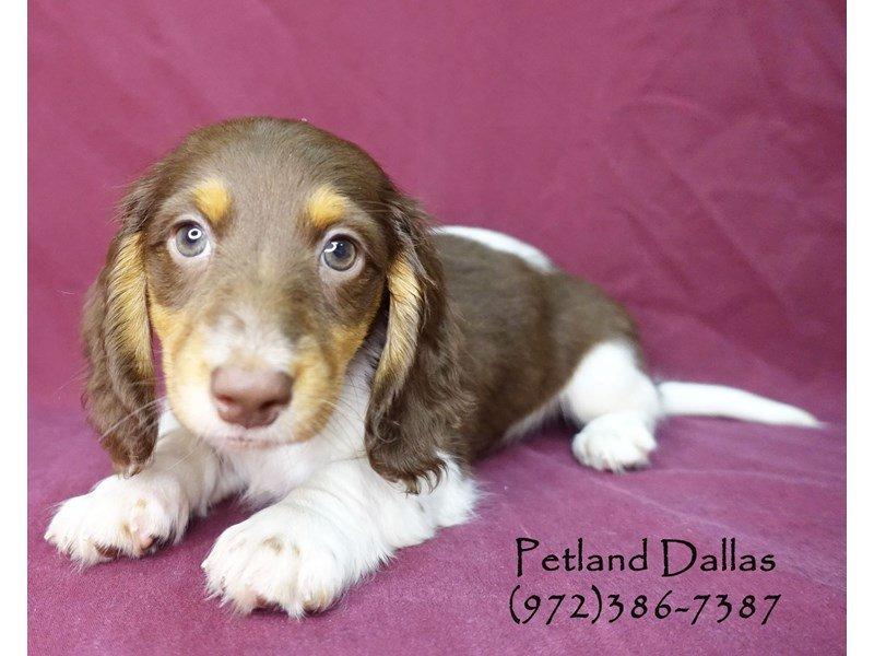 Dachshund Puppies Petland Dallas Tx