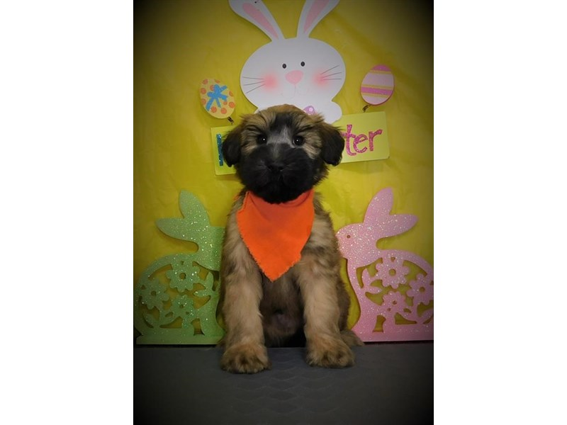 Soft Coated Wheaten Terrier-Male-Wheaten-2674125-Petland Dallas, TX