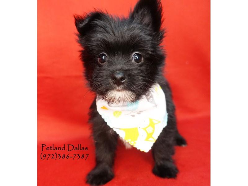 Morkie Puppies Petland Dallas Tx
