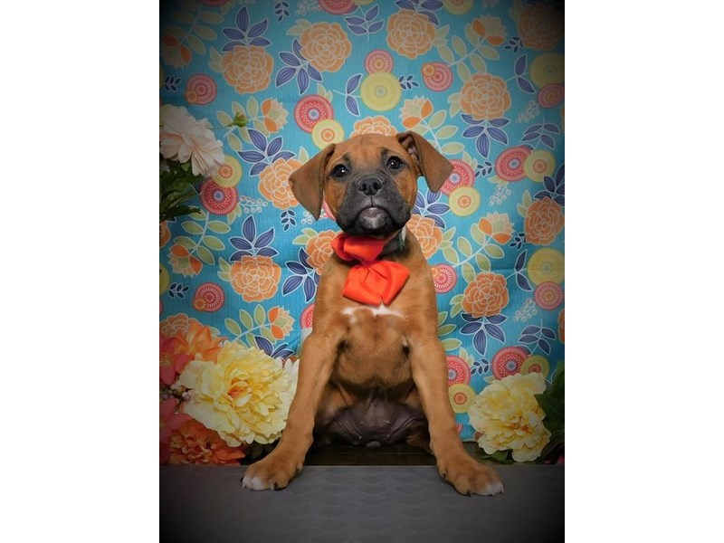 Boxer-Female-Fawn-2687179-Petland Dallas, TX