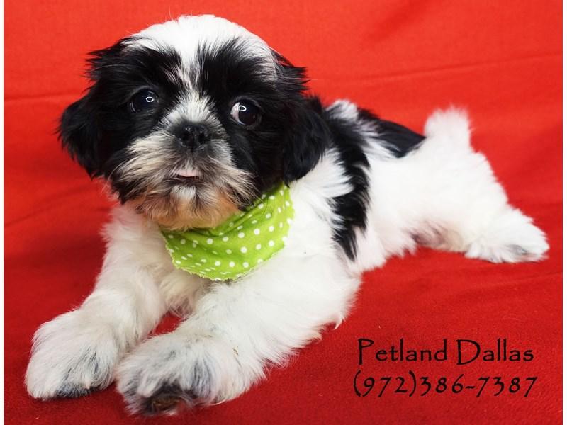 Malshi-Male-Black / White-2696741-Petland Dallas, TX