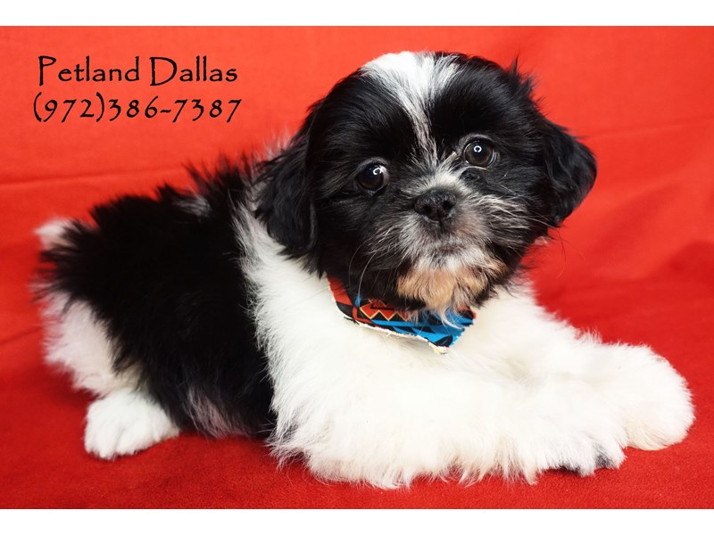 Malshi Puppies Petland Dallas Tx