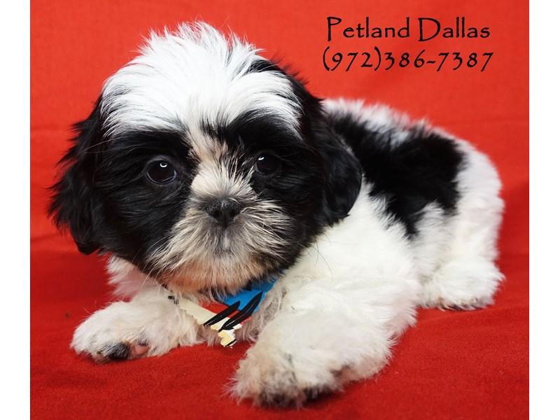 Malshi-Male-Black / White-2696744-Petland Dallas, TX
