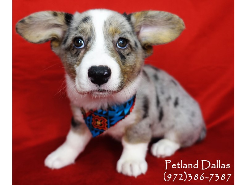 Cardigan Welsh Corgi-Female-Blue Merle and White-2701969-Petland Dallas, TX