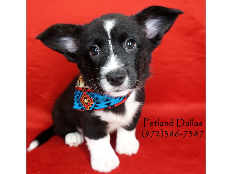 Cardigan Welsh Corgi-Male-Black and White-2701964-Petland Dallas, TX