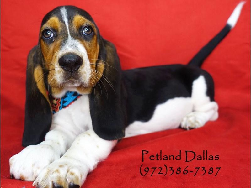 Basset Hound Puppies Petland Dallas Tx