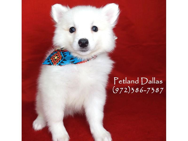 American Eskimo-Male-White-2701880-Petland Dallas, TX