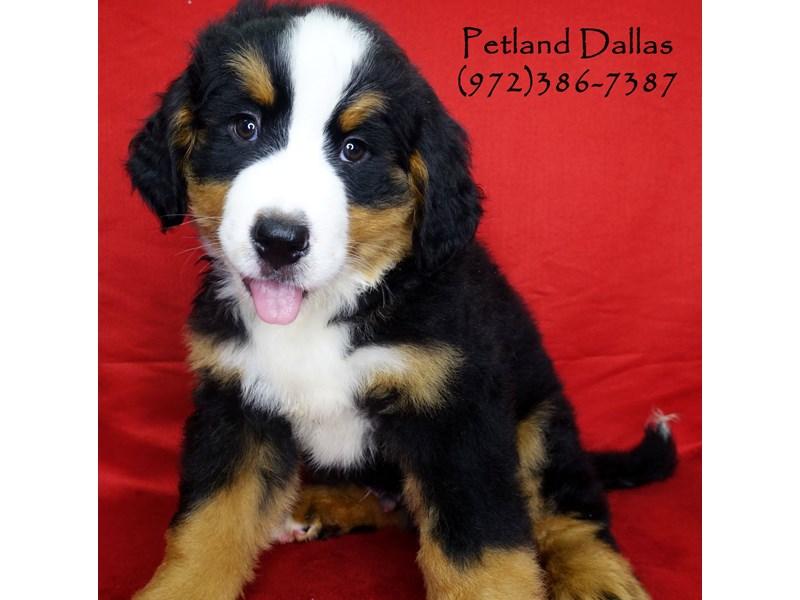 Bernese Mountain Dog-Male-Black Tri-2708936-Petland Dallas, TX