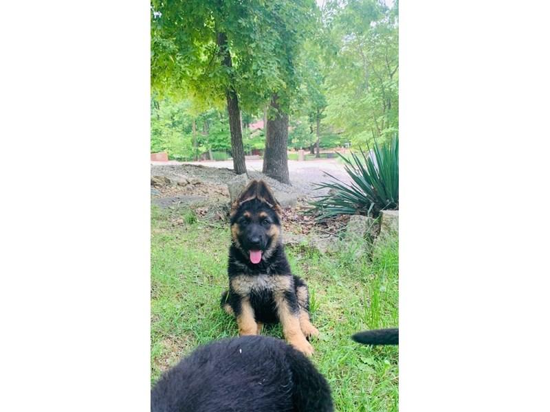German Shepherd-Male-Black and Tan-2732445-Petland Dallas, TX