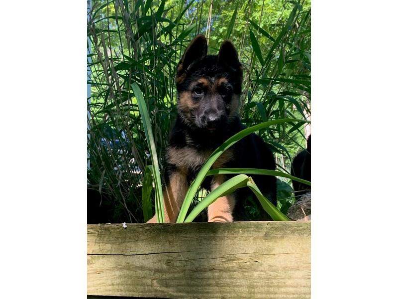 German Shepherd-Female-Black and Tan-2732448-Petland Dallas, TX