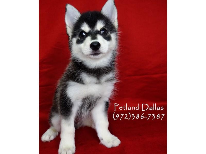 Pomsky-Male-Black and White-2732405-Petland Dallas, TX