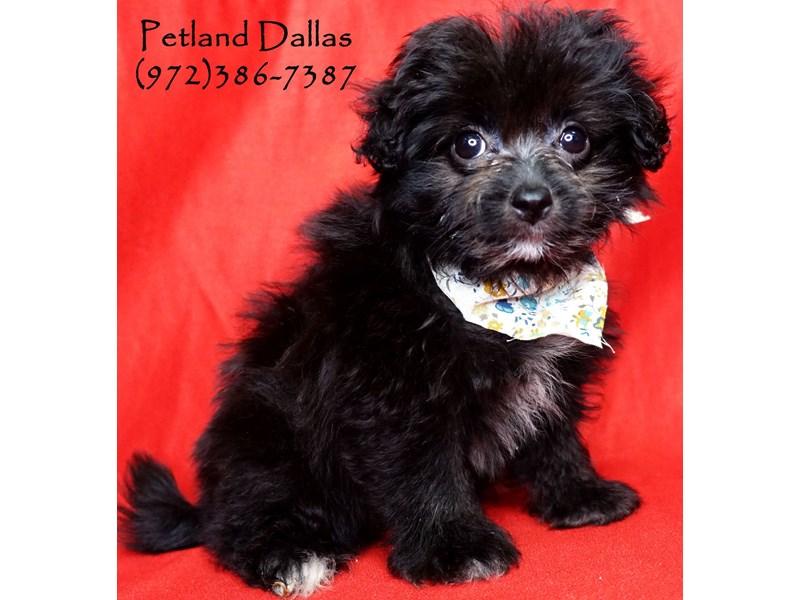 Pomapoo-Female-Black-2744529-Petland Dallas, TX
